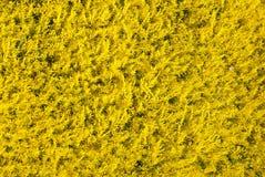 Kolor żółty rośliny jako tło obrazy royalty free
