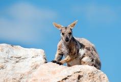 kolor żółty rockowego wallaby kolor żółty obrazy stock