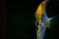 Kolor żółty ryba Obrazy Stock