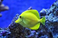 Kolor żółty ryba Fotografia Stock