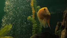 Kolor żółty ryba pływa wśród gąszcza gałęzatki w sztucznym rezerwuarze zdjęcie wideo