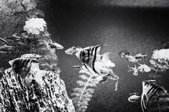 Kolor żółty ryba pod wodą, denna scena, bezbarwna zdjęcie royalty free