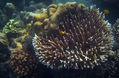 Kolor żółty ryba w tropikalnego seashore podwodnej fotografii Rafy koralowa zwierzę Obraz Royalty Free