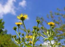 Kolor żółty uzdrawia, omanowa, ziołowa roślina, obrazy stock