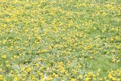 Kolor żółty w wiośnie Zdjęcie Stock