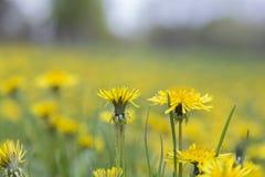 Kolor żółty w wiośnie Zdjęcia Royalty Free