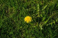 Kolor żółty, wiosna kwiat na tle zielona trawa zdjęcia royalty free