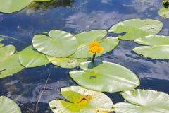 Kolor żółty wody kwiaty & x28; Nuphar Lutea& x29; Obrazy Royalty Free
