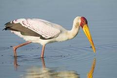 Kolor żółty Wystawiał rachunek bociana, Południowa Afryka (Mycteria ibis) Obraz Stock