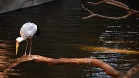 Kolor żółty wystawiał rachunek bociana w rzece - Mycteria ibis zbiory wideo