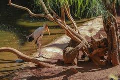 Kolor żółty wystawiający rachunek bocian, (Mycteria ibis) Obrazy Royalty Free