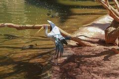 Kolor żółty wystawiający rachunek bocian, (Mycteria ibis) Obraz Royalty Free