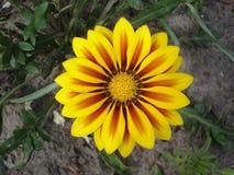 Kolor żółty z czerwonym lampasa gazania kwiatem 'Czerwony lampas' Fotografia Stock