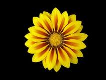 Kolor żółty z czerwonym lampasa gazania kwiatem 'Czerwony lampas' Zdjęcie Stock