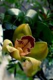 Kolor żółty z czerwonym storczykowym kwiatem Zdjęcie Stock