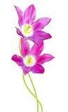 kolor kwiatów fuschia wielkiego tulipanu czerwonej wiosny żółty Zdjęcia Royalty Free