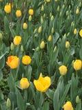 kolor kwiatów fuschia wielkiego tulipanu czerwonej wiosny żółty Obraz Royalty Free