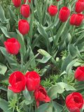 kolor kwiatów fuschia wielkiego tulipanu czerwonej wiosny żółty zdjęcie stock