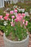 kolor kwiatów fuschia wielkiego tulipanu czerwonej wiosny żółty Obraz Stock