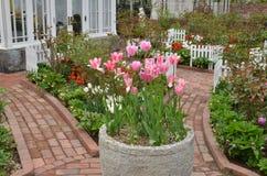 kolor kwiatów fuschia wielkiego tulipanu czerwonej wiosny żółty Fotografia Royalty Free
