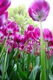 kolor kwiatów fuschia wielkiego tulipanu czerwonej wiosny żółty Zdjęcia Stock
