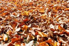 kolor liście jesienią Fotografia Stock
