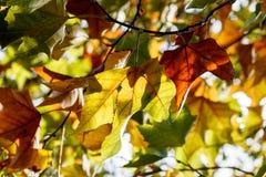 kolor liście jesienią Obraz Royalty Free