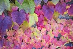 kolor liście jesienią Zdjęcie Royalty Free