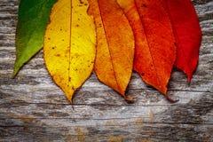 kolor li?cie jesieni? fotografia royalty free