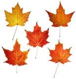 kolor liście klonowi Fotografia Stock