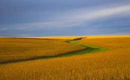 kolor sojowa Zdjęcia Stock