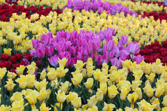kolor tulipany polowe Obrazy Royalty Free