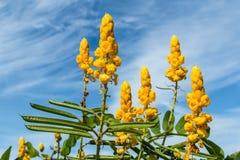 Kolor żółty kwitnie z błękitnym chmurnym niebem przeciw, selekcyjna ostrość Fotografia Stock