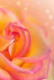 Kolor żółty menchii róża Obraz Stock