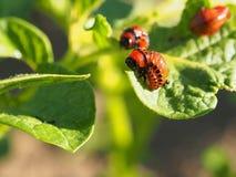 Kolorado ścigi larwy łasowania gruli liście zdjęcia royalty free