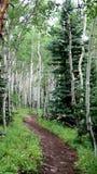 Kolorado-Espen mit einem gehenden Pfad stockbilder