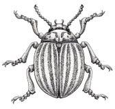 Kolorado kartoflanej ścigi tatuażu sztuka Kartoflana pluskwa Leptinotarsa decemlineata Kropki pracy tatuaż Insekta rysunek Fotografia Stock