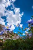 Kolorado kolombiny Aquilegia caerulea Błękit jezioro Zdjęcie Stock
