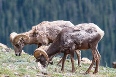 Kolorado Skalistej góry bighorn cakle Fotografia Royalty Free