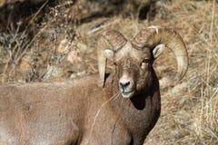 Kolorado Skalistej góry bighorn cakle Zdjęcie Royalty Free