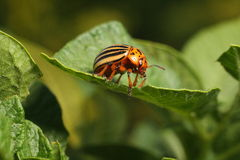 Koloradokäfer Stockbild