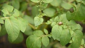 Koloradokäfer isst Kartoffel lässt Kartoffeln im Garten Plagen und Parasiten zerstören Ernten in der Landwirtschaft stock footage