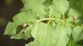 Koloradokäfer isst Kartoffel lässt Kartoffeln im Garten Plagen und Parasiten zerstören Ernten in der Landwirtschaft stock video