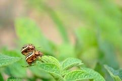 Koloradokäfer (Leptinotarsa decemlineata) Stockbilder