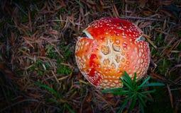 Kolorowa świeża toksyczna bedłki amanita pieczarka na zieleni mo Obraz Stock