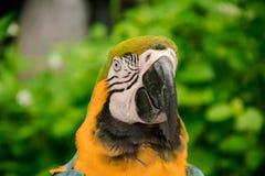 Kolorowa żółta papuzia ara Obraz Stock