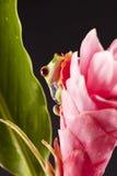 kolorowa żaba Fotografia Royalty Free