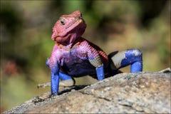 Kolorowa Afrykańska jaszczurka Obrazy Stock