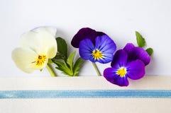 Kolorowa altówka kwitnie w kopercie Obraz Royalty Free