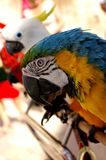 Kolorowa ara patrzeje kamerę zdjęcia royalty free